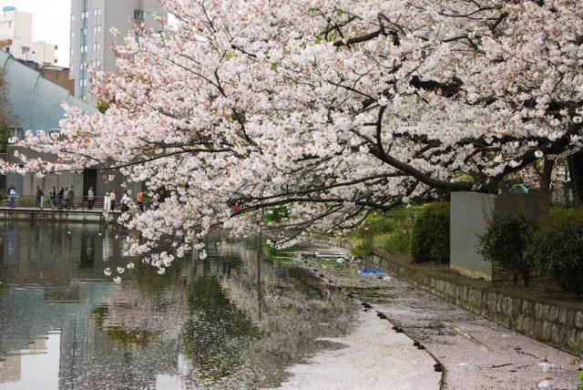 日本東京/京都賞櫻懶人包:櫻花開花時間不重要,滿開時間才重要 | 林氏璧和美狐團三狐的小天地