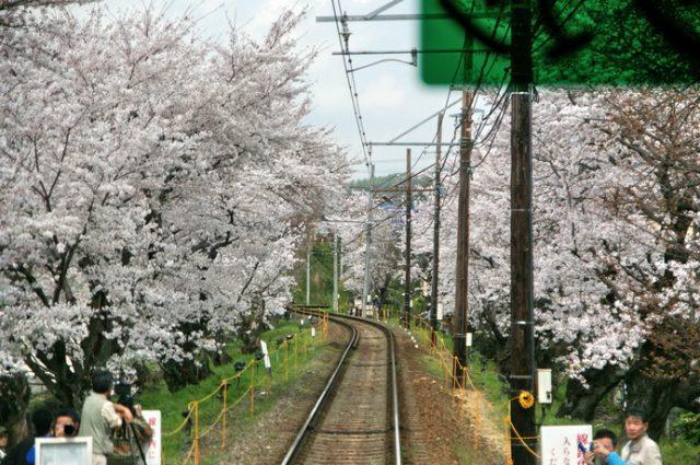 京都京福電鐵之嵐電櫻花隧道,坐百年路面電車賞櫻   林氏璧和美狐團三狐的小天地