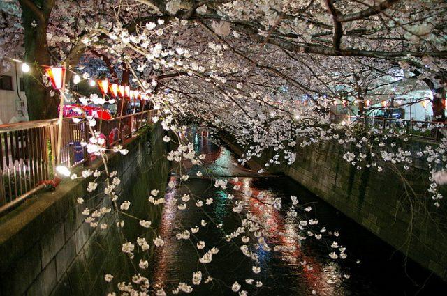 再訪目黑川櫻花:東京第二名的夜櫻景點! | 林氏璧和美狐團三狐的小天地