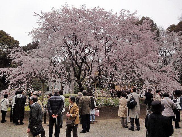 六義園大枝垂櫻: 東京最早開花的賞櫻景點 | 林氏璧和美狐團三狐的小天地